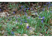 Bluebells scatter the floor