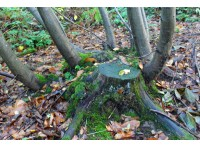 Old coppice stool