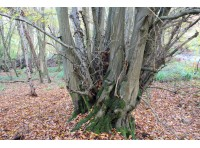 Old coppiced hornbeam