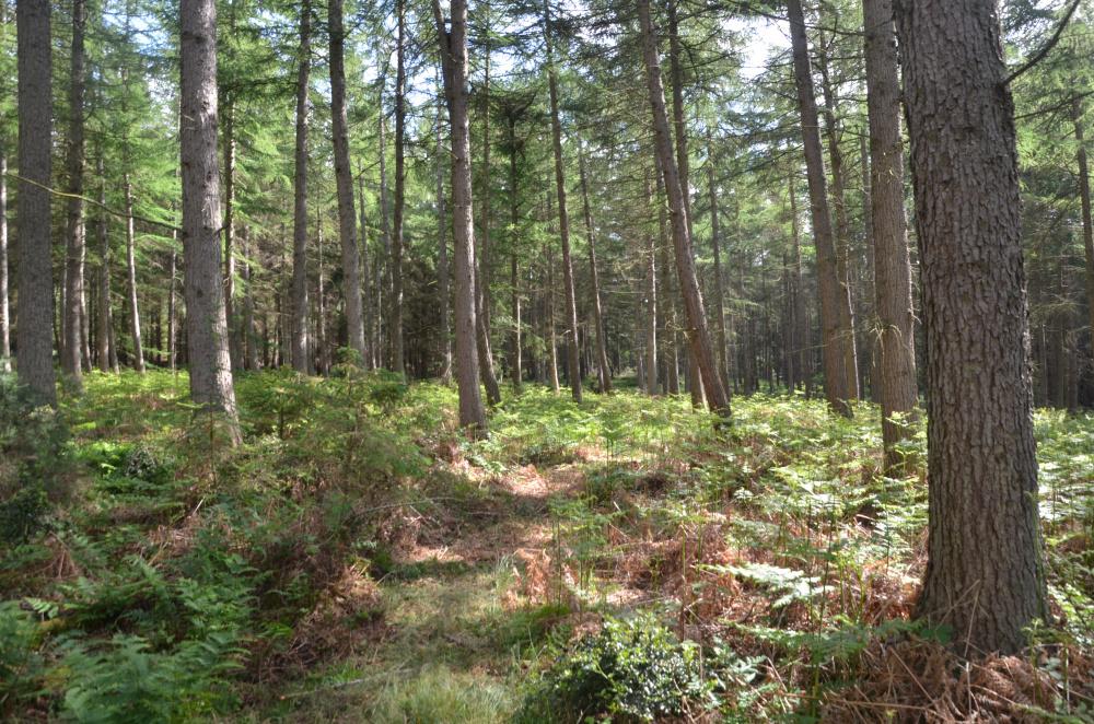 Mixed conifer woodland