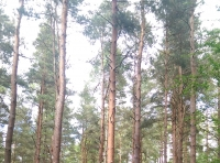 Scots pine and bilberry