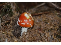 Emergent Fly Agaric