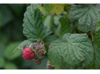 Scottish raspberry