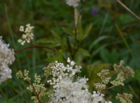 Meadowsweet spray