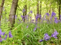 Bluebells though the wood