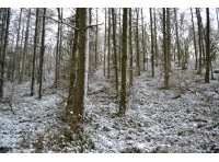A snowy view of the woodland's larch stand