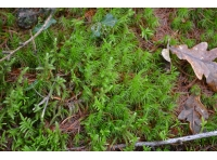 The woodland floor is covered in ferns and mosses such as this Catherine's moss