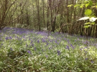 Another area of bluebells