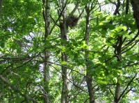 Large nest in the canopy