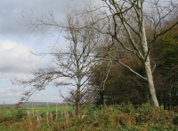 Mature beech in area of regenerating woodland