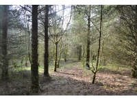 The eastern side of the woodland, dominated by coniferous trees intermixed with ash