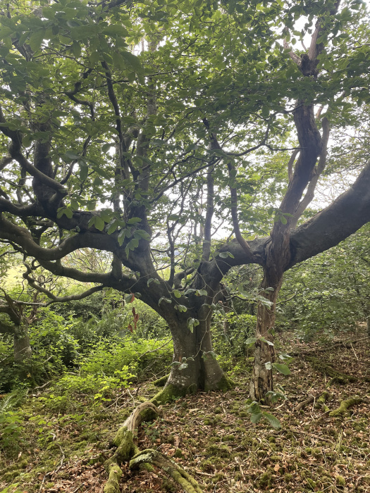 A lovely old beech tree