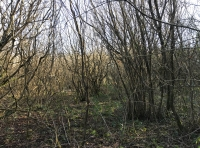 A view into the coppice part of the wood