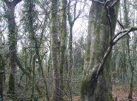 A large beech tree by the stream
