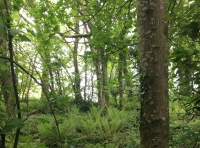 Woodland ferns, view up to western boundary