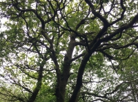 Statuesque oak in the middle of Coed Pengam