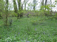 Carpet of bluebells and wood anemones