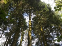 Mature conifers