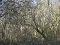 An area of silver birch
