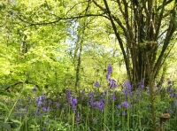 Lots of bluebells in and around this wood