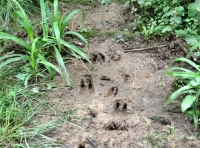 Deer footprints