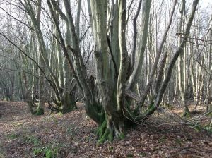 Hornbeams and hedges