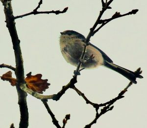 More on birds from Woodcock Wood : The Long-tailed Tit - a very sociable bird