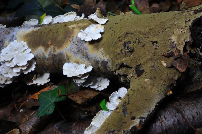 3_The close relative of the Wet Rot fungi Coniophora olivacea growing with Crimped Gills on a rotten birch log