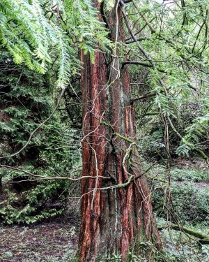 Unusual and exotic trees - the Dawn Redwood