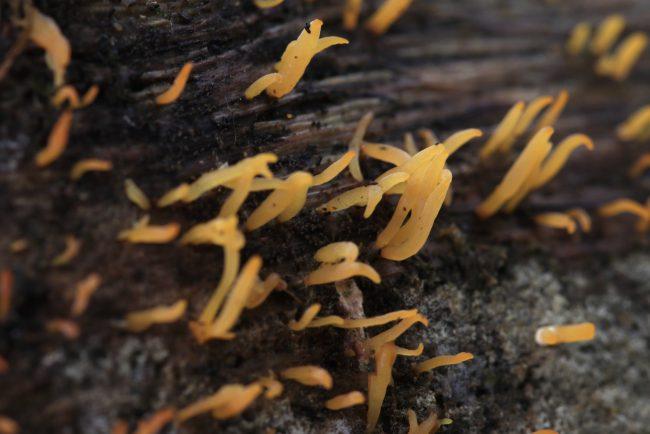 Small Stagshorn (Calocera Cornea)