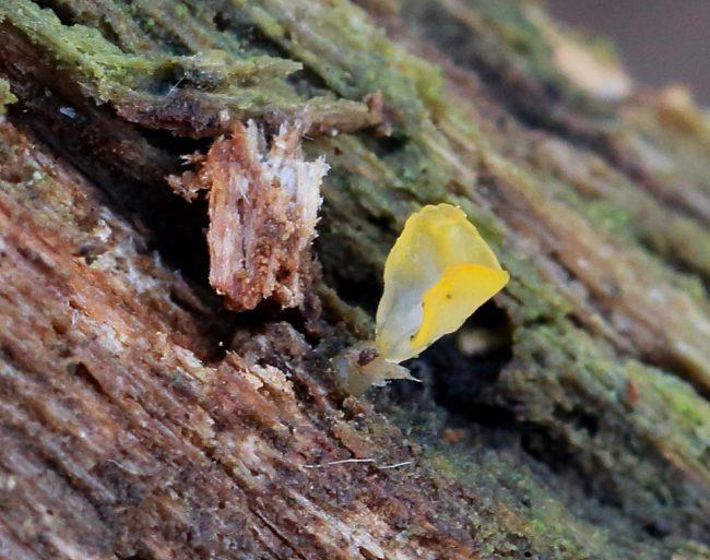 Pale Stagshorn (Calocera pallidospathulata)
