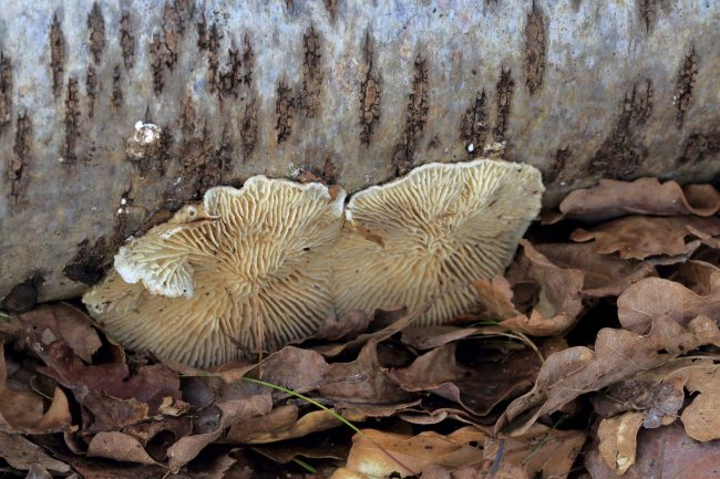 A Birch Mazegill bracket assuming a resupinate form