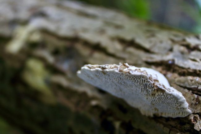 A Lumpy Bracket (Trametes gibbosa), showing the elongated pores on its underside