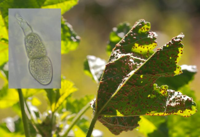 A Mallow Rust (Puccinia malvacearum) on Common Mallow showing telia and teliospore