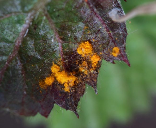 A bramble leaf sneaking through the garden fence with Blackberry Leaf Rust on it