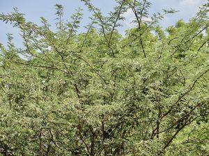 Unusual or exotic trees : Mesquite.