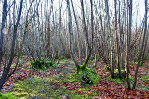 Chestnut coppicing - an alternative to the 15 or 18 year cycle