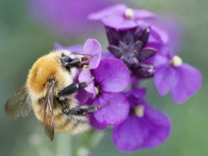 Bumblebees need a caffeine fix!