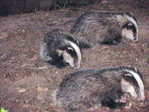 Durham Badgers - and friends