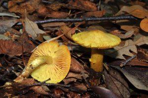 October Fungi Focus: The Sulphur Knight (Tricholoma sulphureum)