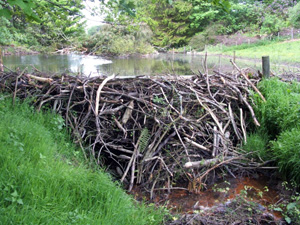 Beavers - reducing pollution?