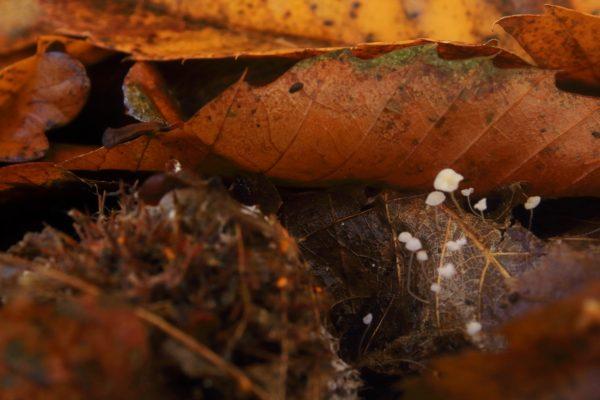 Beechleaf Bonnet (Mycena capillaris)