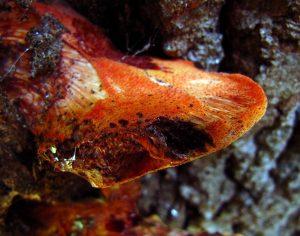 The Monthly Mushroom: Dryad's Saddle (Polyporus squamosus)