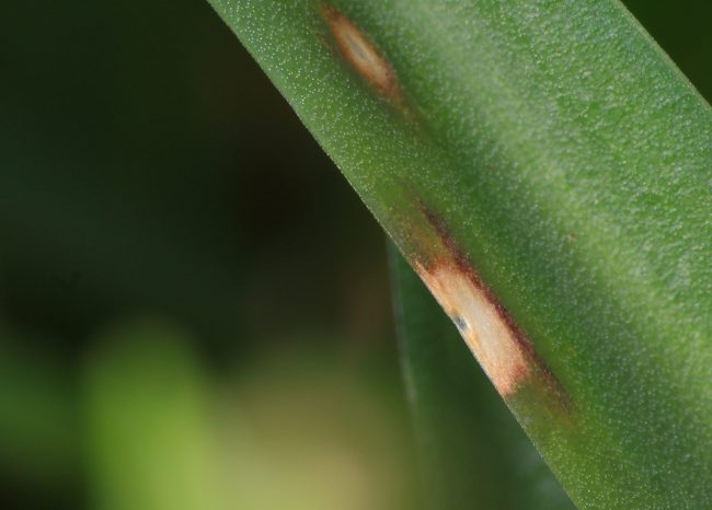 Bluebell Rust forms localised blemishes on the leaves of bluebells that are actually quite colourful when you look closely