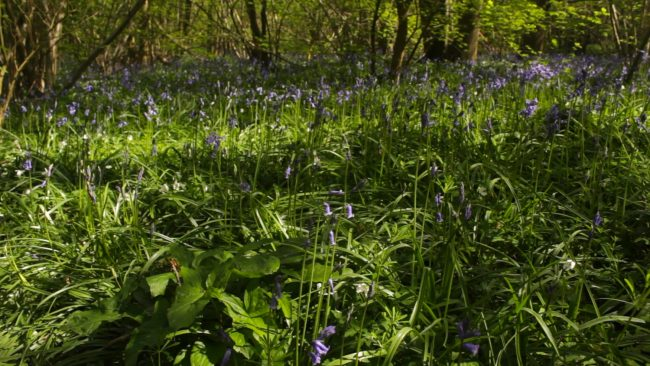Bluebells still form striking carpets of colour on the woodlands floor, but by May they are beginning to look past their best.