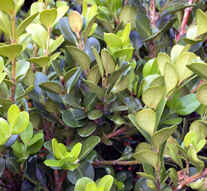 Box shrub