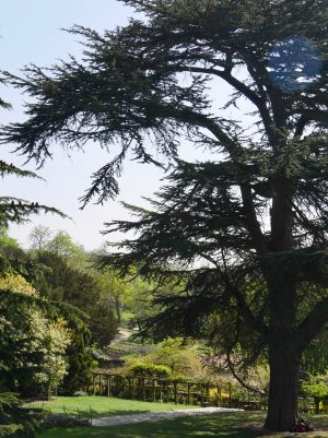 Unusual or exotic trees : the Cedar of Lebanon (Cedrus libani)