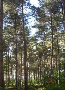 VOC's and Pine trees.