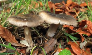 February's Monthly Mushroom: Clouded Funnel (Clitocybe nebularis)