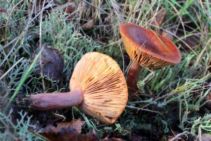 December's Monthly Mushroom: Curry Milkcap (Lactarius camphoratus)